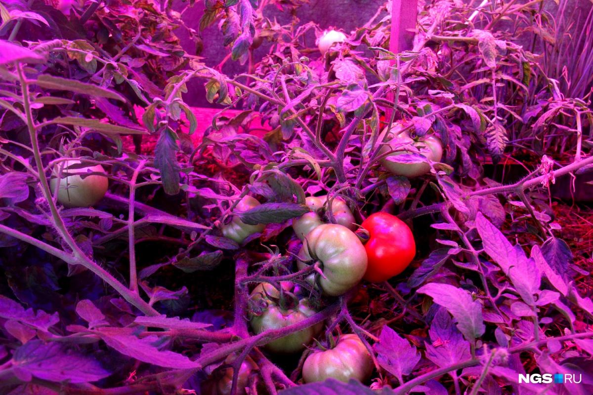 Сиреневый цвет стеблей и листьев — от светодиодных ламп. Именно в таком спектре томаты растут лучше всего