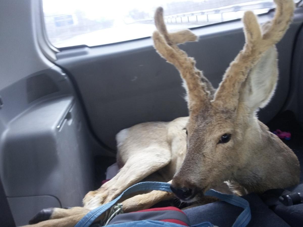Юлия и Антон на своей машине отвезли дикое животное к ветеринарам