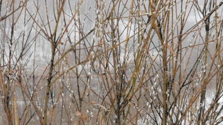 Перепутала зиму с весной: в Новосибирске распустилась верба