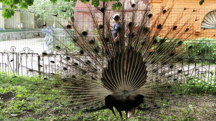Павлины из екатеринбургского зоопарка переехали поближе к людям