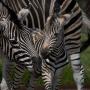 Полный «Мадагаскар»: в челябинском зоопарке выбрали имя новорождённой зебре