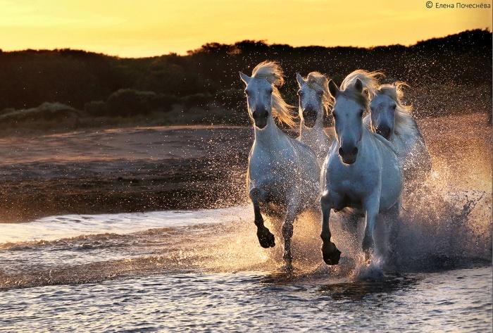 Дикие лошади Камарга.Фото Елены Почеснёвой