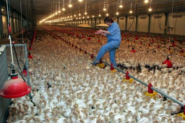 Вирус птичьего гриппа поразил второе стадо компании «Евродон»