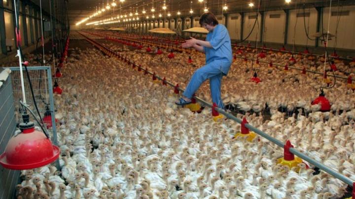 В «Евродоне» новая вспышка птичьего гриппа