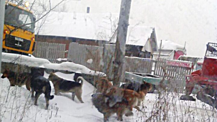 В Первомайском районе отловили шесть собак из стаи, терроризирующей детей