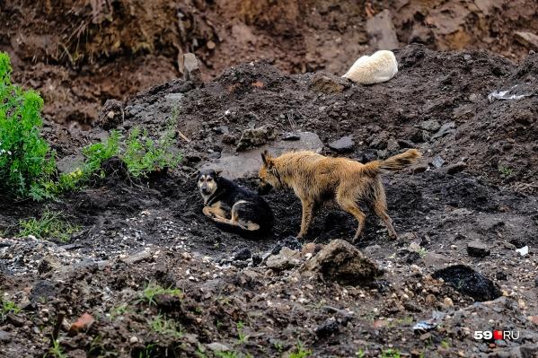 Бездомные собаки на территории строящегося приюта