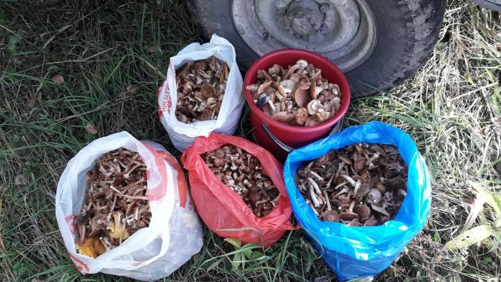 Опята пошли: новосибирец собрал в лесу рекордный урожай грибов