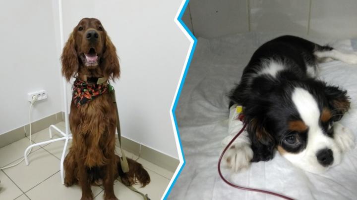 Ирландский сеттер стал донором для тяжело больного щенка спаниеля