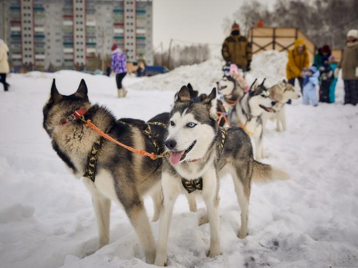 Во время новогоднего праздника в «Вишнёвой горке» участники гуляний могли покататься в собачьих упряжках