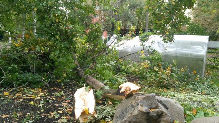 В Ярославле здоровенный клён упал у входя в ясли: фото с места