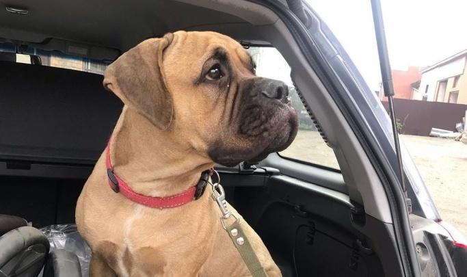 «Писали из США и Германии»: заводчица сбежавшей в тайгу на двое суток собаки рассказала о её судьбе