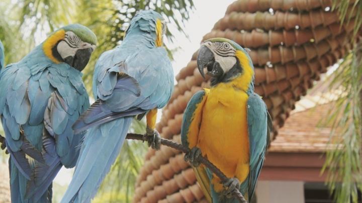 Попугай полторы недели прожил в зоогостинице в Красноярске и начал мяукать