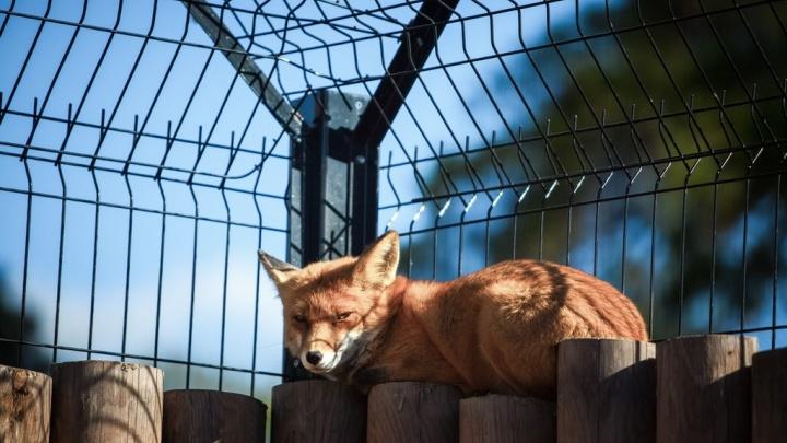 В пригороде Кургана из-за больной лисы объявили карантин по бешенству