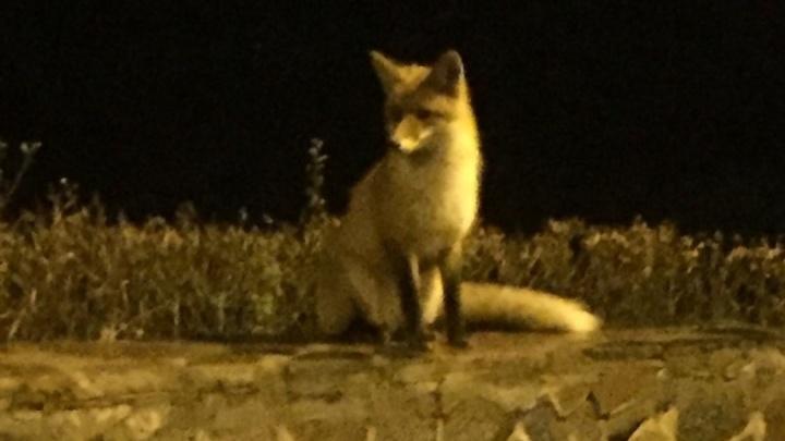 В уфимском парке разгуливала лиса