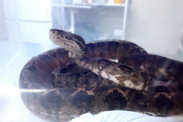 Хозяева удава обнаружили, что змее стало трудно питаться, и принесли её в ветклинику