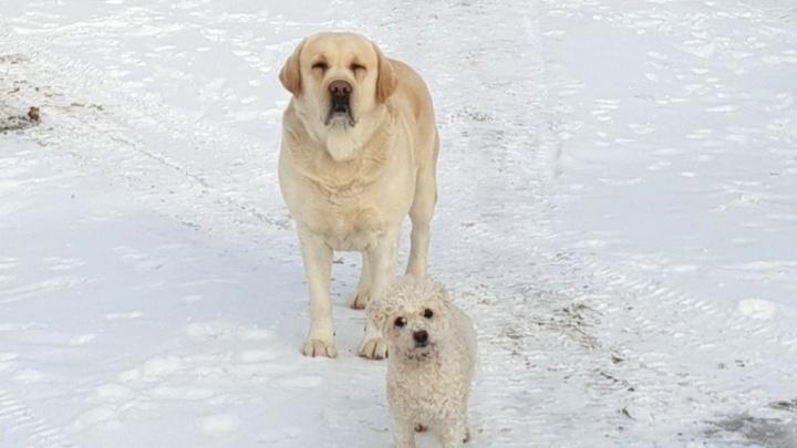 Лопата есть? 9 мемов о сбежавших собаках, которых спустя сутки нашли на дрейфующей льдине в Тюмени