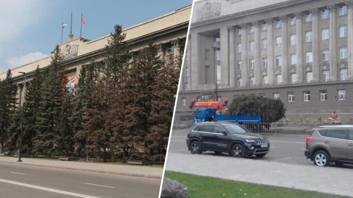 У здания правительства вырубили голубые ели