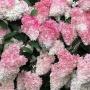 Преобразить свой сад всего за 390 рублей: челябинцам предложили гортензии по суперцене
