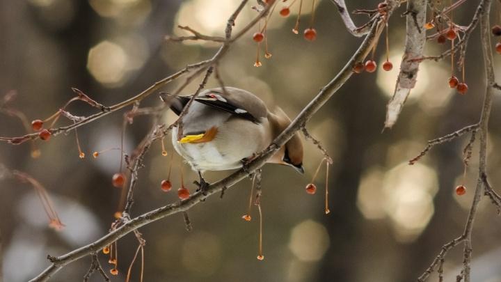 В Новосибирск с севера прилетела стая птиц с красивыми хохолками