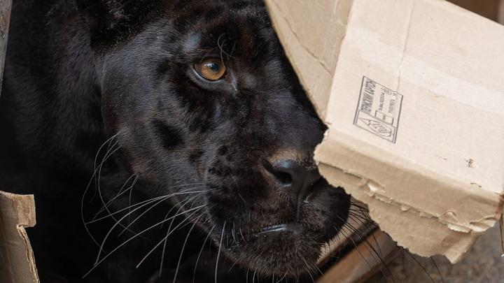 Красавцу-ягуару из «Роева ручья» полюбились коробки, как домашнему котику