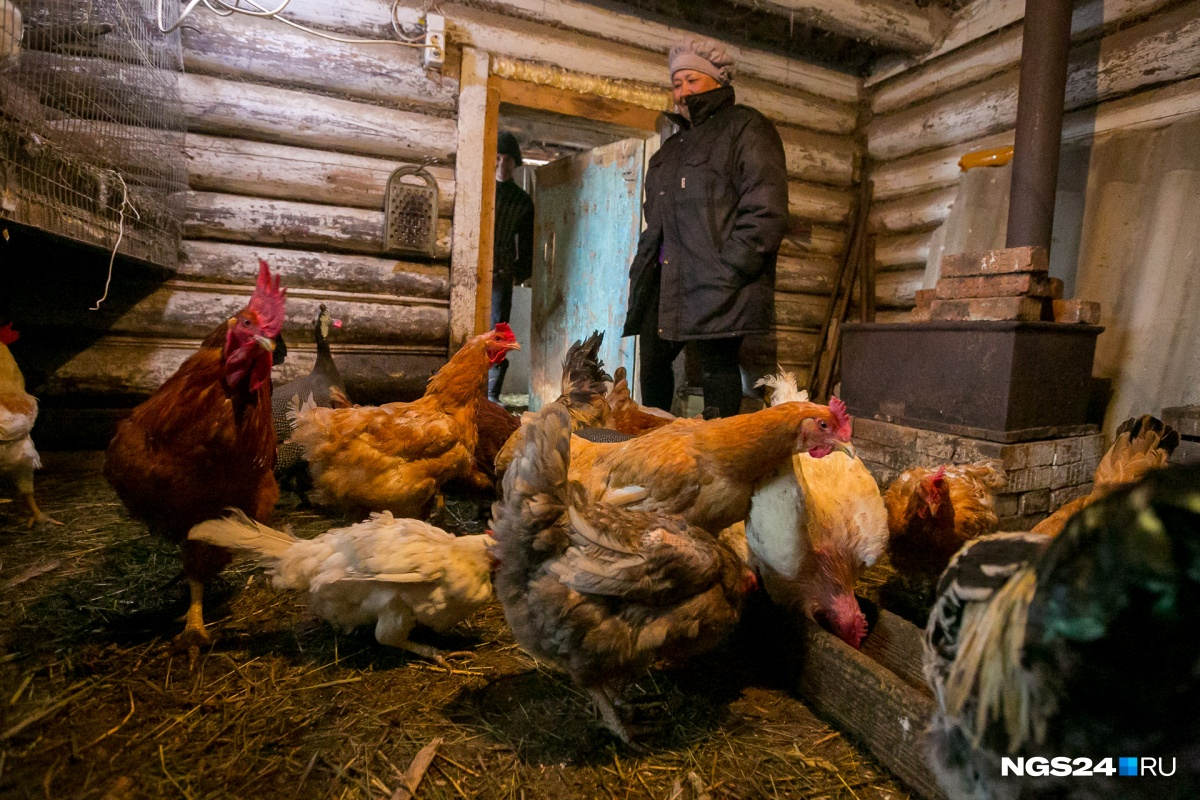 На участке семья держит кур, петухов и цесарок