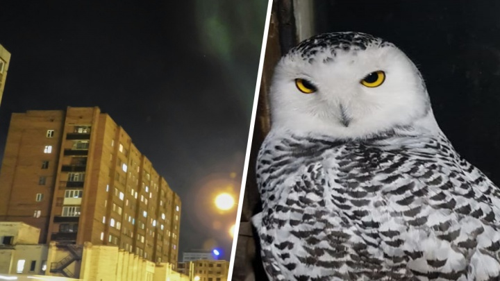 Под Норильском нашли сову-гурмана с простреленным крылом