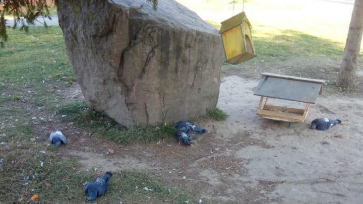 «Птицы бились в конвульсиях»: впарке на Родниках массово погибли голуби