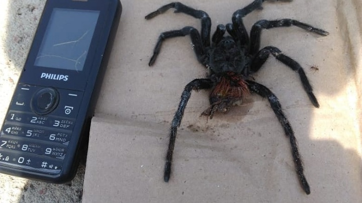 «Такого «зверя» мы не встречали ни разу»: волгоградцы нашли в огороде паука размером с мобильник