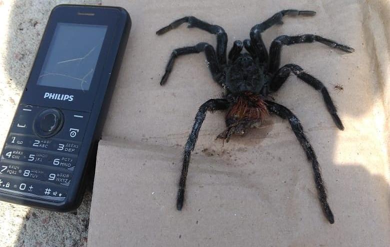 """«Такого """"зверя"""" мы не встречали ни разу»: волгоградцы нашли в огороде паука размером с мобильник"""