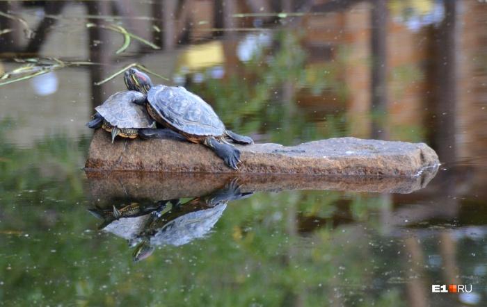 Черепахи живут рядом с берегом около базы «Карасики»