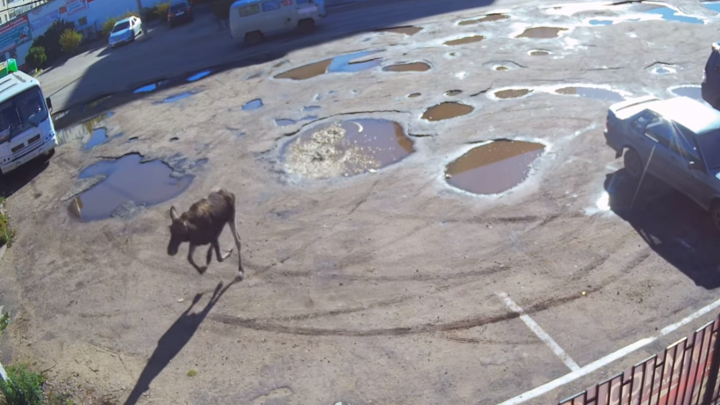 В Тутаеве лось с разбега влетел в ограду магазина. Видео