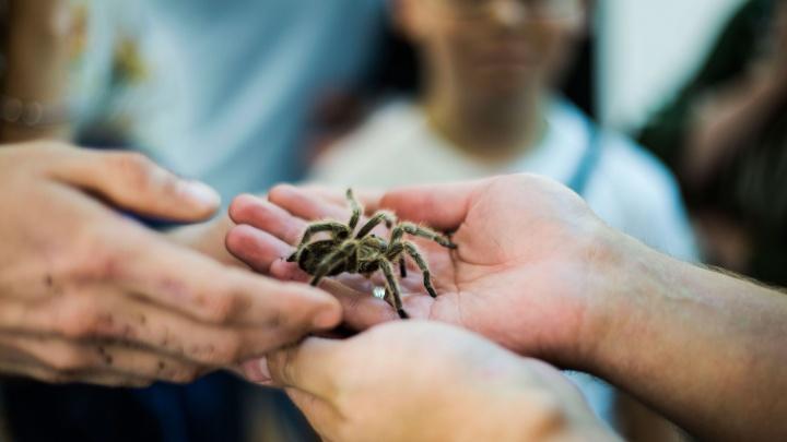 Фото: в Новосибирск привезли самого большого в мире паука и опасную чёрную вдову