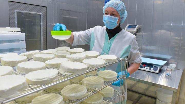 Производственный репортаж: на заводе под Екатеринбургом начали делать элитные сыры с плесенью