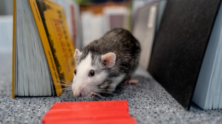 Гадаем на крысах: каким будетдля Челябинска 2020 год