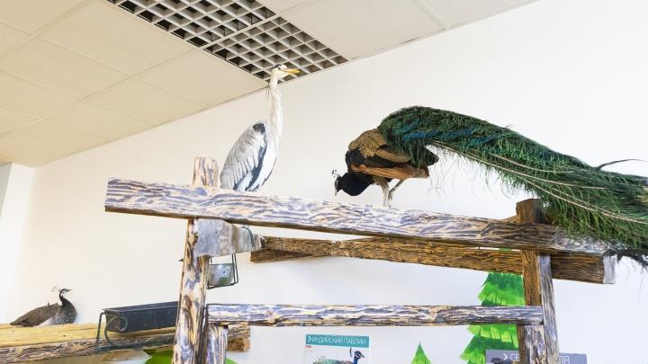 Звериный треугольник: в контактном зоопарке Екатеринбурга павлин ушел от цапли к новой подружке