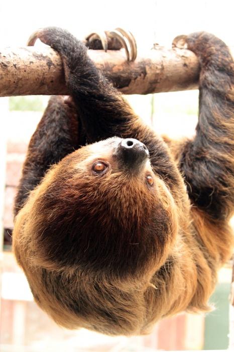 Варан или ленивец? В Екатеринбургском зоопарке выбирают лучшего самца-отца