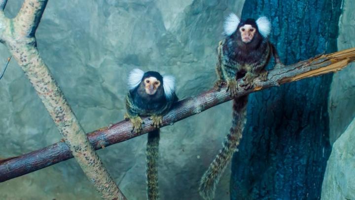 В Екатеринбург привезли щебечущих, как птицы, обезьян, занесенных в Книгу рекордов Гиннесса