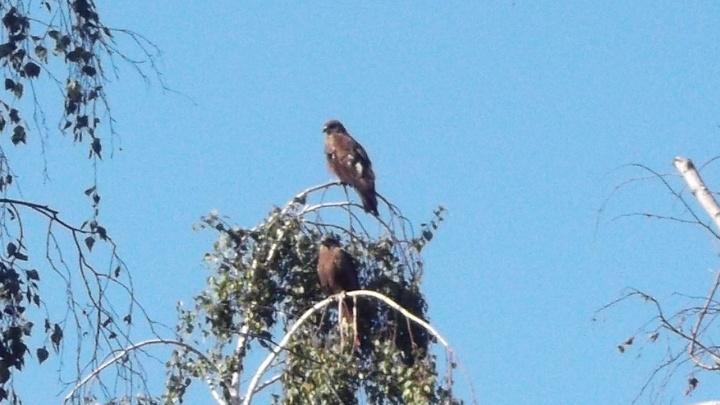В парках Новосибирска поселились хищные птицы с огромным размахом крыльев