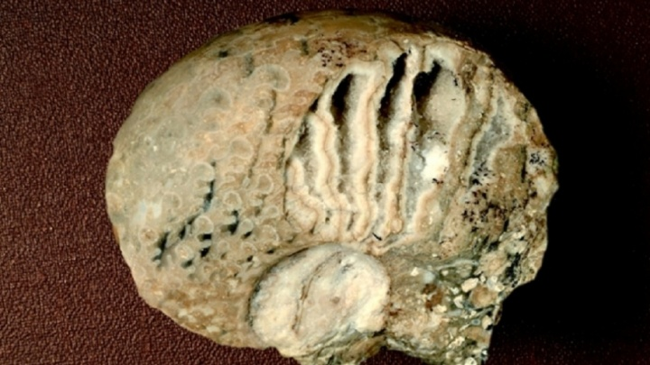 В Башкирии нашли уникальную раковину вымершего моллюска