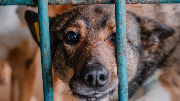 Как живут отловленные собаки в пермском приюте и почему волонтеры считают, что их надо спасать