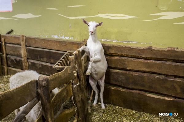 Теперь в мини-зоопарках животным должны оборудовать укрытия, в которых они могли бы спрятаться от назойливых посетителей