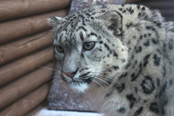 У Аксу не было шансов выжить в дикой природе с травмой
