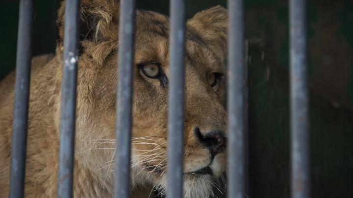 По уфимским улицам опять водят львенка