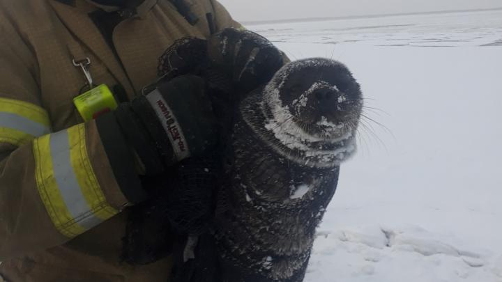 В Северодвинске спасатели помогли детёнышу тюленя добраться до воды