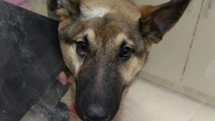 Новосибирцы нашли на улице собаку с ножом в голове — она чудом выжила