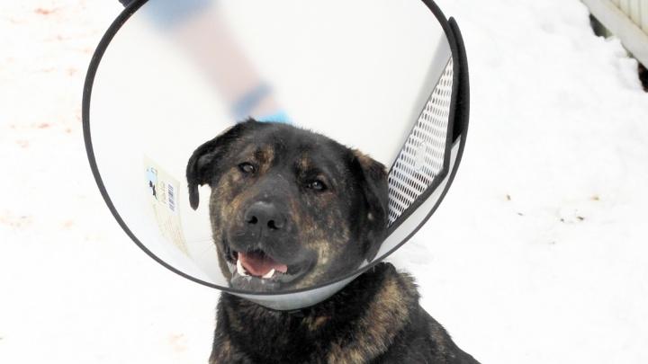 «Нашли на улице с окровавленной лапой». Нижегородские ветврачи спасли собаку Земфиру после аварии