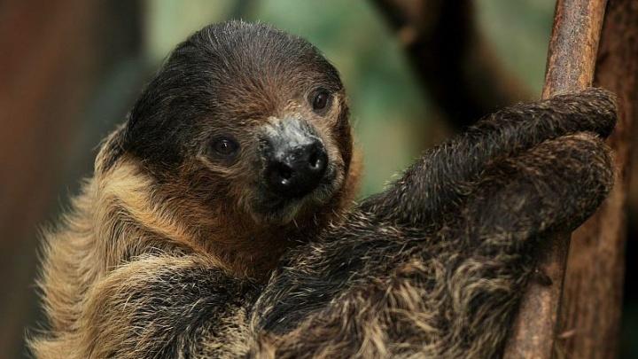 Видео с ленивцами из Новосибирского зоопарка ускорили в два раза. Они всё равно медленные