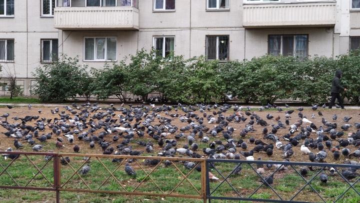 «Я кормлю голубей и спасаю мир»: прикормившая птиц женщина объяснила, зачем ей это. Видео