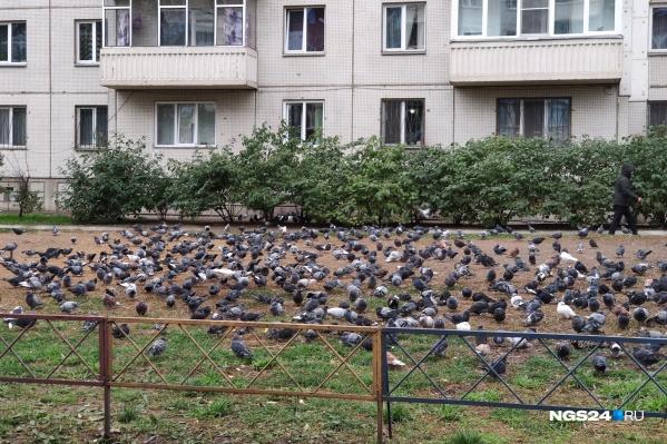Малая часть голубей, собирающихся у дома на Молокова, 27