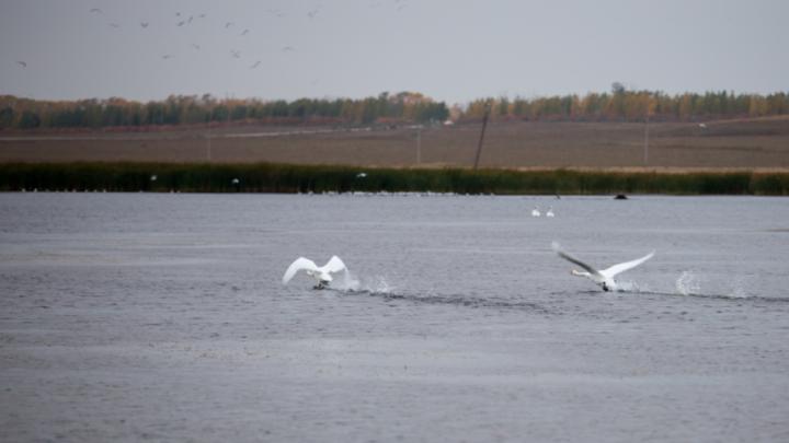 На озеро в Башкирии прилетели 56 лебедей